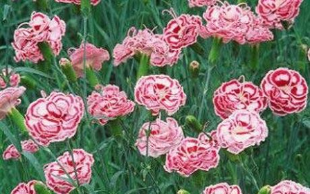 Период цветения турецкая гвоздика